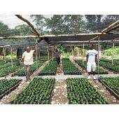 Cafe Kreyol - Green (Unroasted) Organic Haitian Blue Mountain